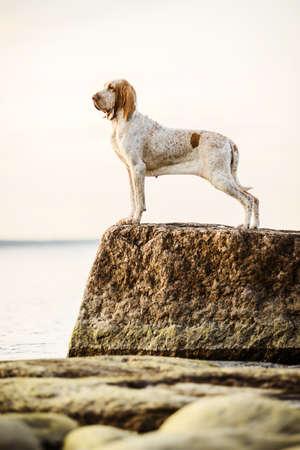 Beautiful Bracco Italiano pointer standing on rocks at sunset sea landsape