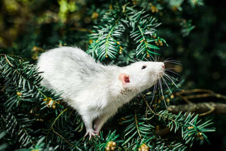 Cute white and gray dumbo fancy rat sitting in ever green festive spruce fir pine tree.