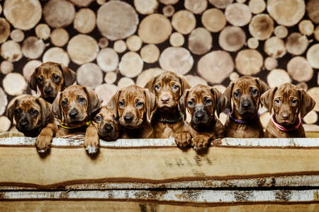 Group of nine 9 rhodesian ridgeback puppies dogs sitting in raw in wood box on wooden background of dry chopped firewood logs stacked up on top of each other in a pile 免版税图像