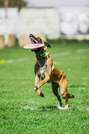 Malinois Belgian Shepherd catched flying disk, summer outdoors dog sport competition 免版税图像