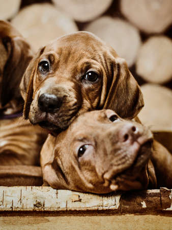 two adorable rhodesian ridgeback puppies dogs playing sitting on wooden background of dry chopped firewood logs stacked in a pile