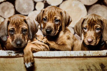 Group of three 3 rhodesian ridgeback puppies dogs sitting in raw in wood box on wooden background of dry chopped firewood logs stacked up on top of each other in a pile