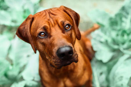 close up portrait of adorable rhodesian ridgeback dog in spring summer nature background