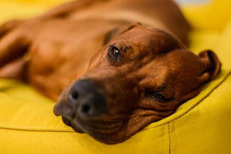 close up portrait of sleepy Rhodesian Ridgeback dog having rest on yellow dog bed 免版税图像