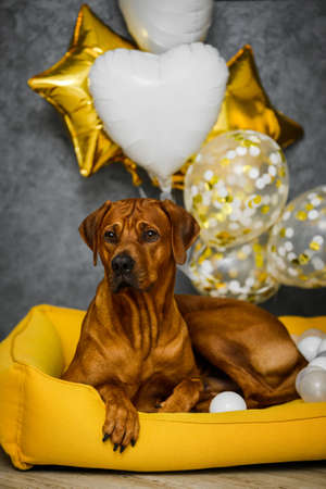 Rhodesian Ridgeback dog with white and gold festive balloons on yellow dog bed and gray background 免版税图像