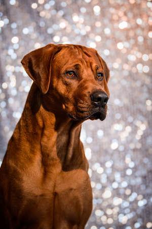 close up portrait of adorable Rhodesian Ridgeback dog on shiny festive background 免版税图像