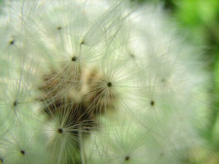 airy: Soft airy dandelion Stock Photo