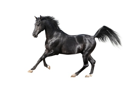 black arab horse isolated on white Imagens
