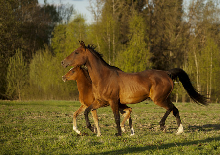 synchronously: The arabian mare and foal runs free summer