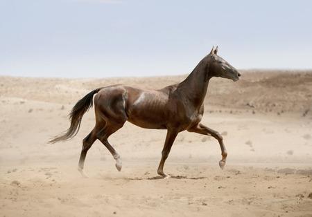 akhal teke: akhal-teke horse running in desert Stock Photo