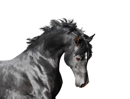 Black arab stallion horse isolated on white background