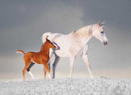 Arabian cavalla cavallo e il suo giovane puledro che attraversa la neve fresca. Archivio Fotografico - 35816151