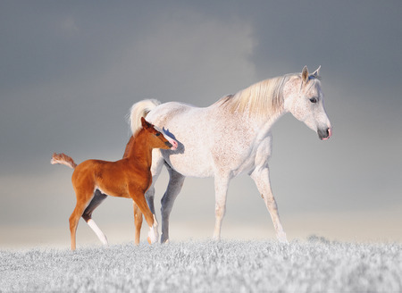 Arabian horse mare and her young colt running through fresh snow. Banque d'images