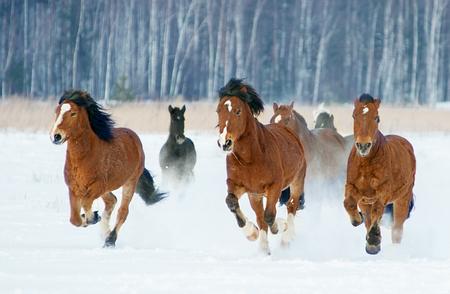 Herd of horses running through a snowy field gallop Standard-Bild