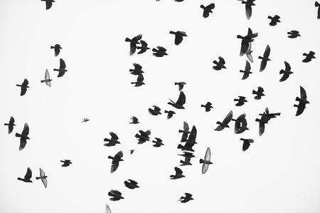 swooping: flock of birds silhouette