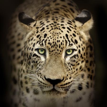 Leopard portrait on black