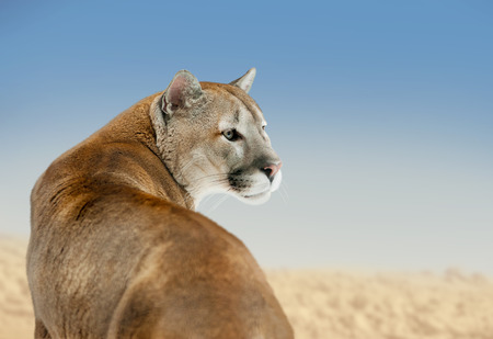 Cougar (Puma concolor) staring with blue sky background
