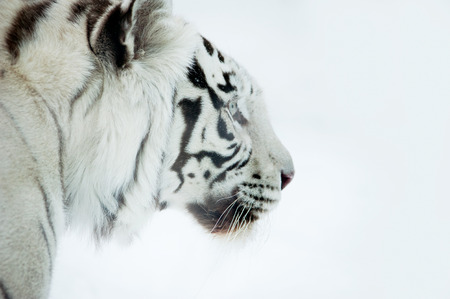 Profile of Bengal white tiger on a white background
