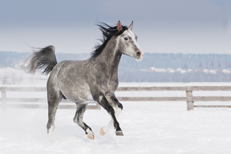 trot: grey arab horse with white head runs trot in winter snowy field