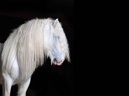 shire horse: White Shire horse with black background