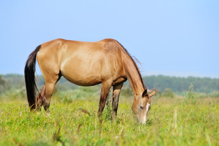 steeplechaser: akhal-teke mare in pasture