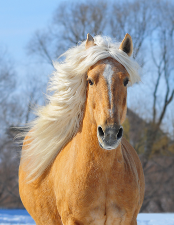 headcollar: Palomino horse portrait at the field in action