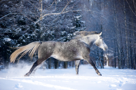 white horse in winter forest