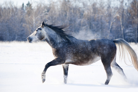 grey horse runs free in winter photo