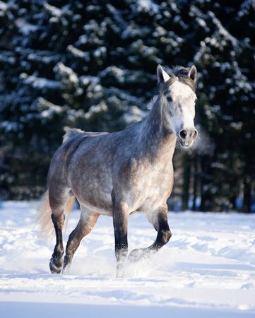 grey horse runs free in winter 写真素材