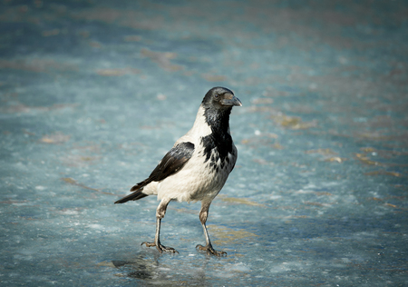 horizontals: crow on frozen river