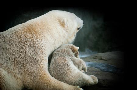 ourson: Petit ourson polaire avec sa m�re Banque d'images