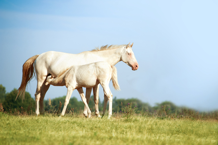 steed: perlino akhal-teke mare and foal Stock Photo