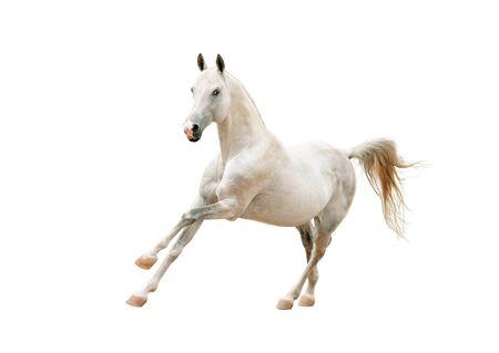 akhal teke: outstanding white stallion isolated on white background