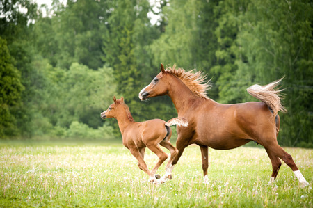 synchronously: arabian foal with mare runs free in the field