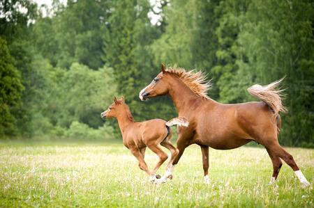 caballo: potro �rabe con yegua corre libre en el campo