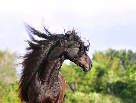 friesian horse portrait with long mane 写真素材