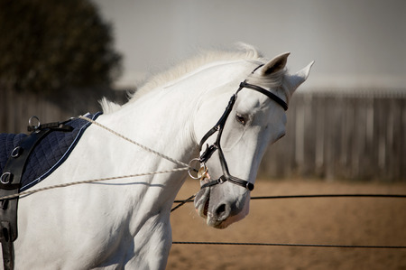 white horse portrait coaching in hands with reins