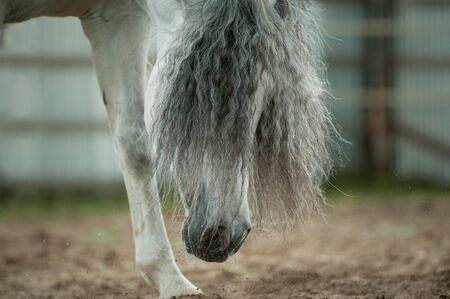 forelock: Andalusian horse forelock closeup sniffing the ground