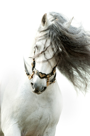 andalusian horse portrait in action wearing the authentic spanish bridle with long curvy mane