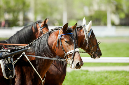 trotters: trotters at hippodrome in sunny day