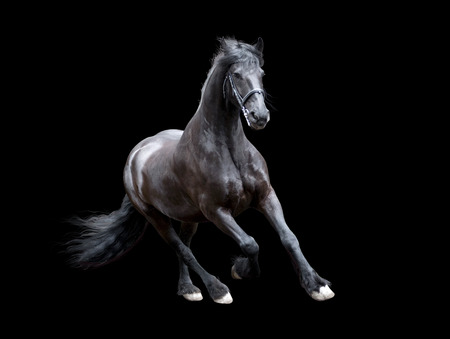firesian horse running isolated on black background Banque d'images