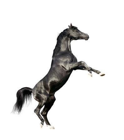 equine: black arabian horse rearing isolated on white background