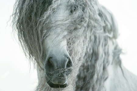 andalusian horse face closeup with long curvy forelock and mane 写真素材