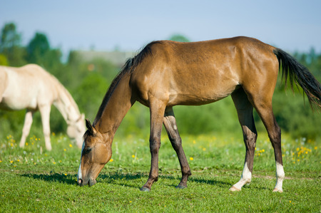 filly: young akhal-teke filly grazing in the morning meadow