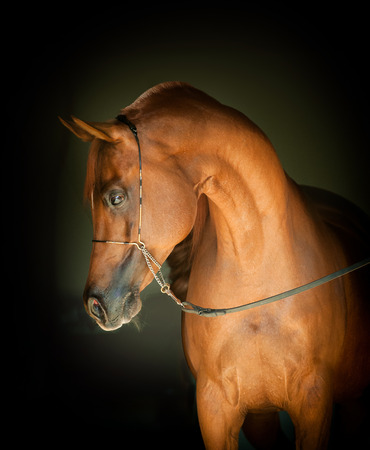 chestnut arabian horse portrait on black background 写真素材