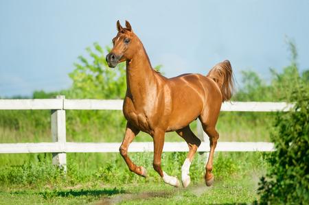 chestnut arab stallion runs free in paddock in summer