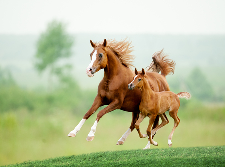 horses in field: Running chestnut horse in meadow. Summer day