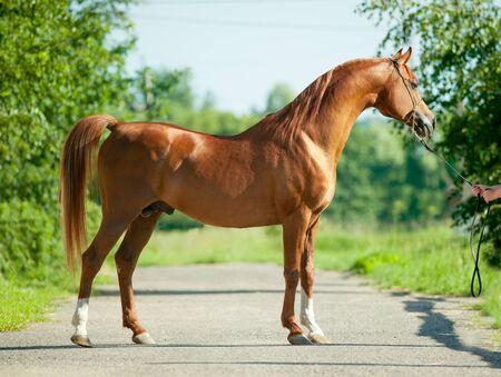 exterior of beautiful chestnut arabian stallion 写真素材