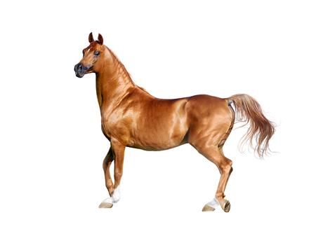 expressive: Expressive chestnut arabian horse isolated on white