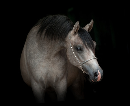 grey young arabian colt portrait on black background in low key